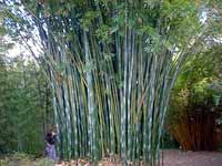 Florida Bamboo Prices Types